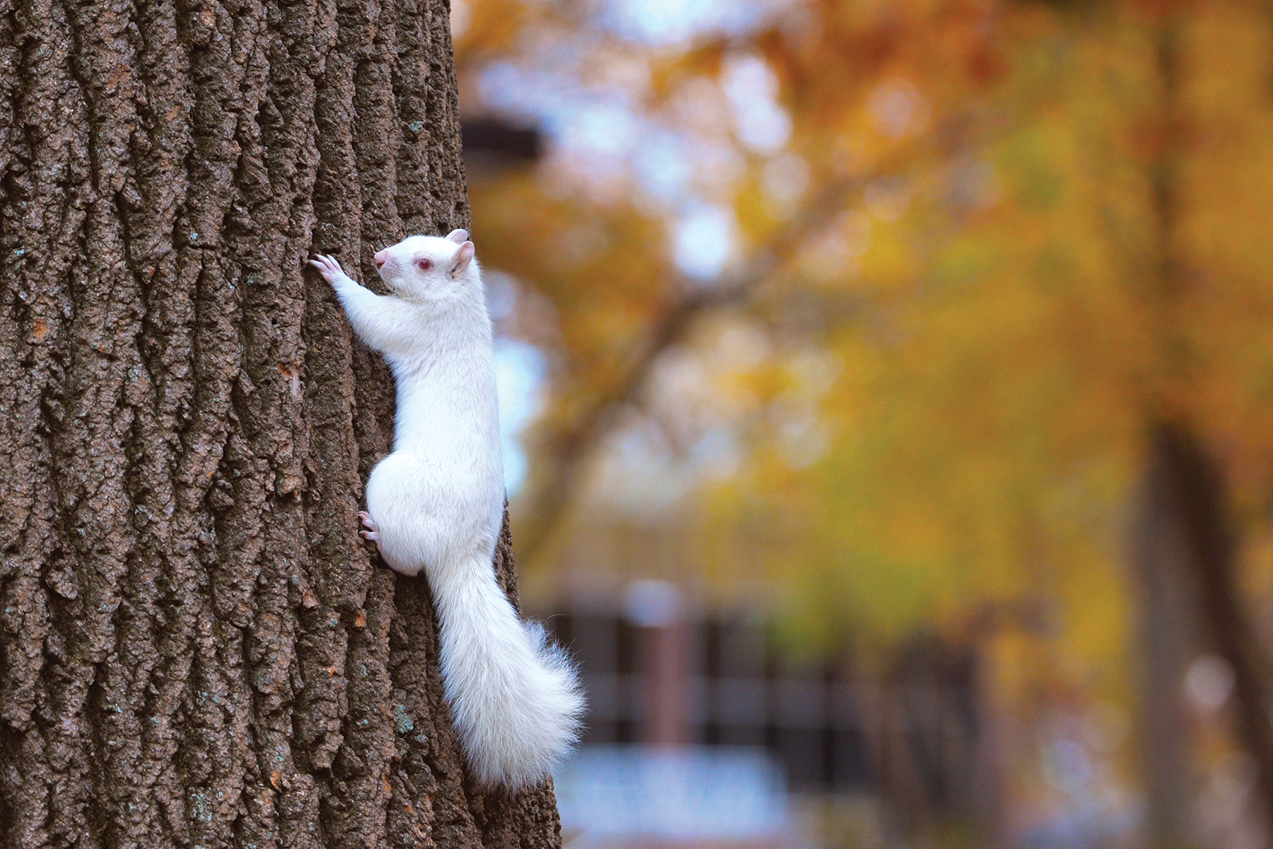 White Squirrell 1906